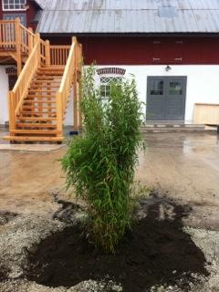 Bambu utanför ingången